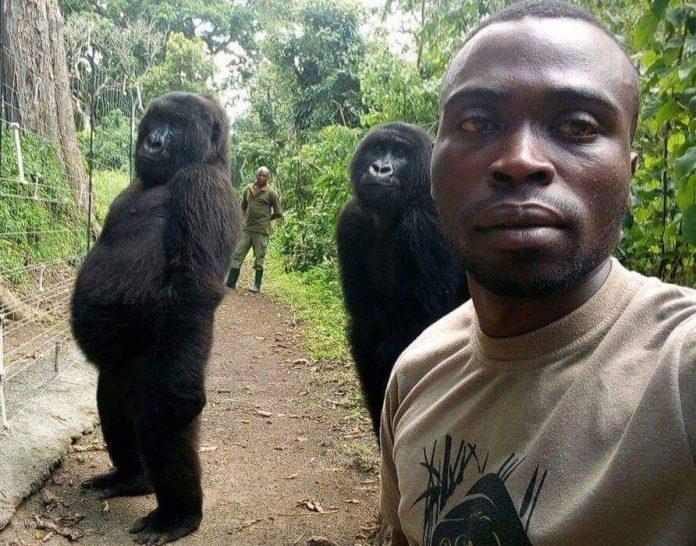 Gorillas Pose for Selfies