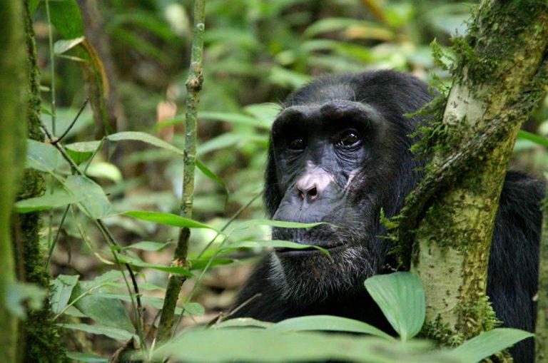 Meet the Chimpanzees on African Safaris