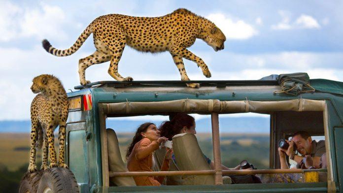 Cheetah on Safari Vehicle