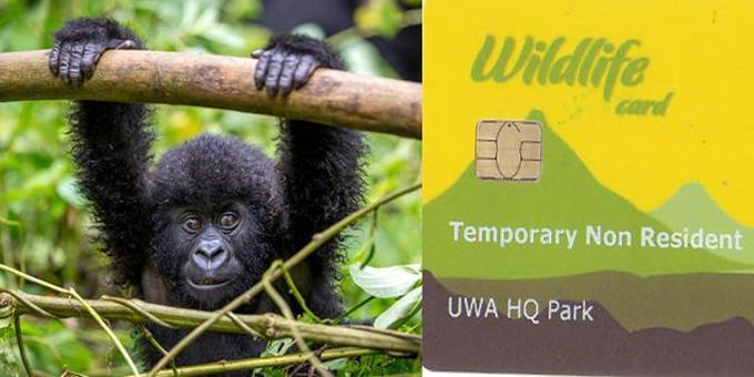 Gorilla Permit Prices