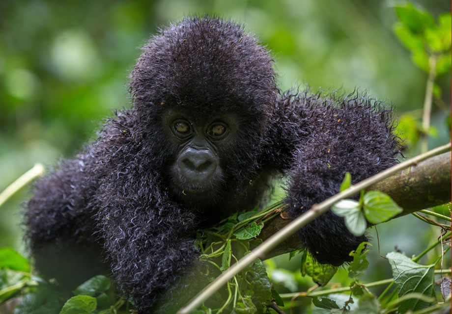Mountain Gorilla in the Virunga