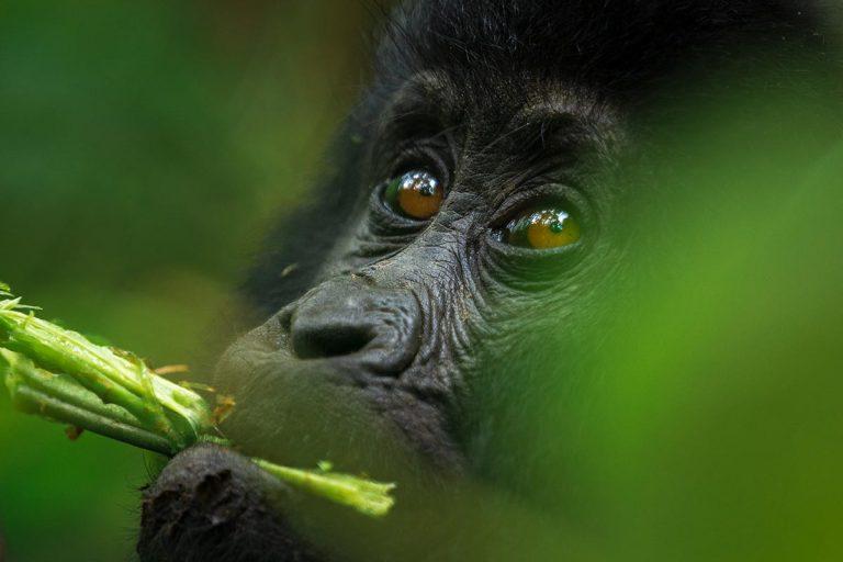 See Gorillas Up-close in Bwindi Forest in Uganda