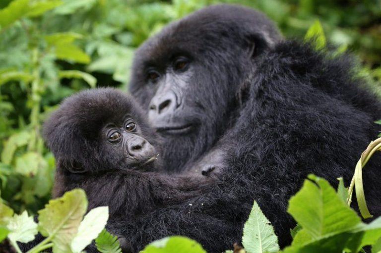 Meet the Mountain Gorillas of Rwanda