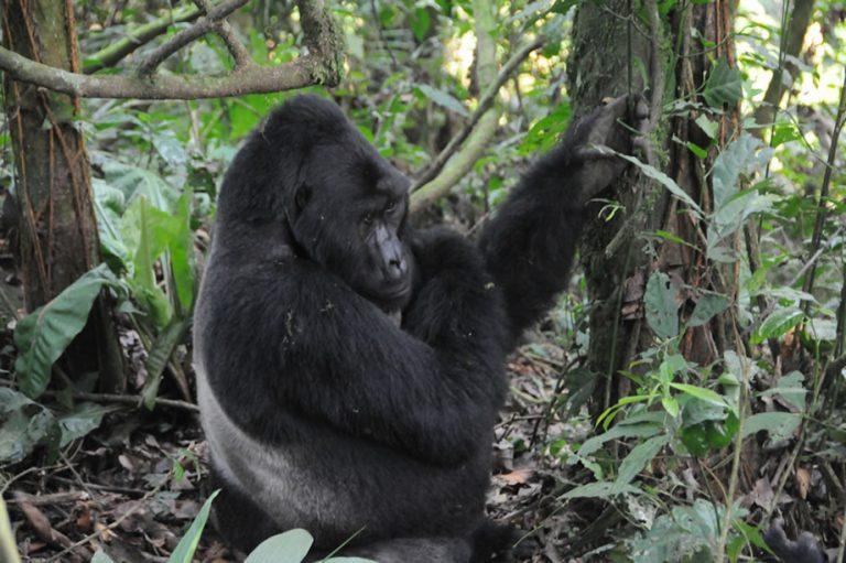 Visit Bwindi Forest for Great Gorilla Trekking