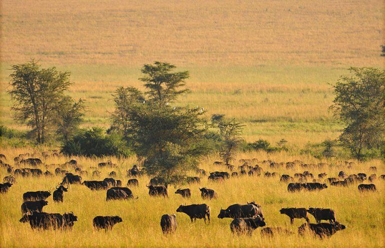 Why Visit Uganda for a Safari Holiday After Covid-19?