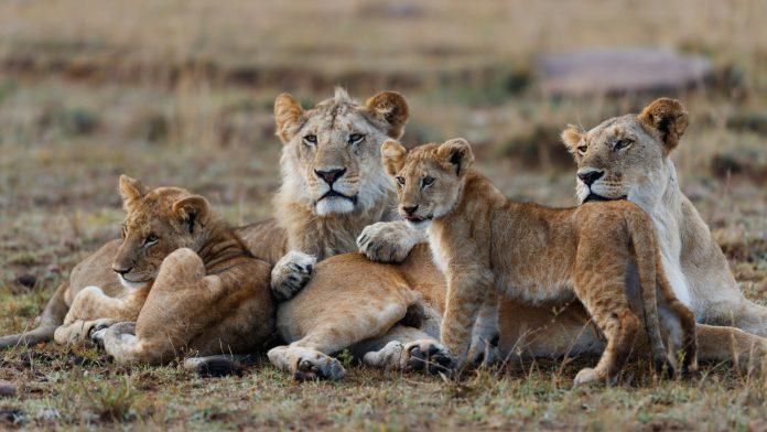 African Lions in Masai Mara National Park